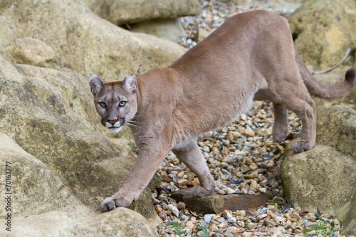 Plexiglas Puma Puma