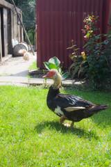 Duck walking on a field of grass