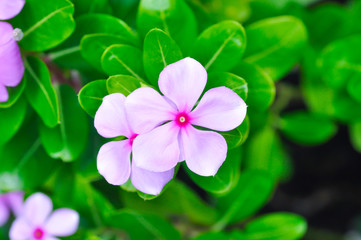 Cape Periwinkle, Bringht Eye, Indian Periwinkle, Madagascar