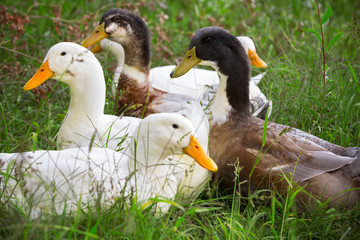 Flock of white and brown geese