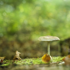 white mushroom growing in a forest, dreamy green nature bokeh ba