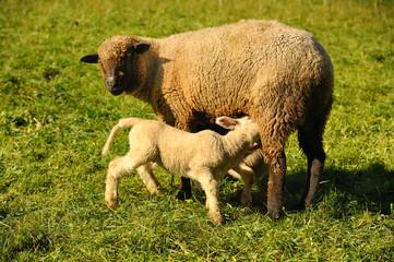 owce, matka z małym jagnięciem