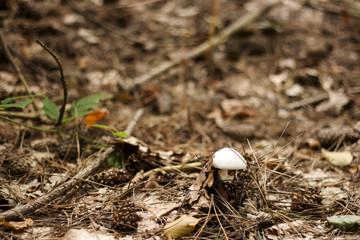 white mushroom piercing the soil white growing, autumn backgroun