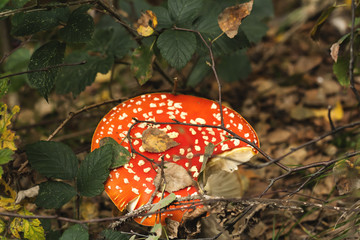red mushroom amanita muscaria growing in an autumn forest, parti