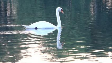 Schwan gleitet über einen See