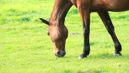 Pferd beim fressen auf der Wiese