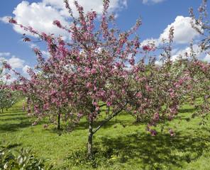 Moscow, pink cherries in Kolomenskoye park