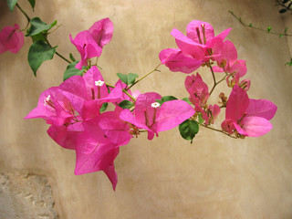 bougainvillea greece