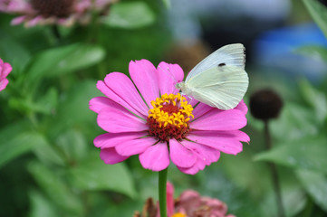 white butterfly on a pink flower