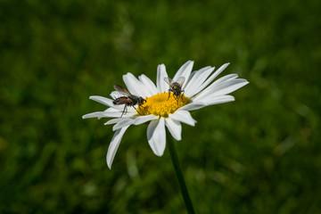 flies pollinating wild flower