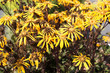 Flowers of Asteraceae or Ligularia.
