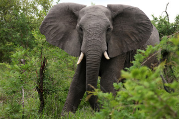 African elephant eats grass. South Africa. Слон африканский ест
