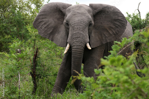 Fotobehang Olifant African elephant eats grass. South Africa. Слон африканский ест