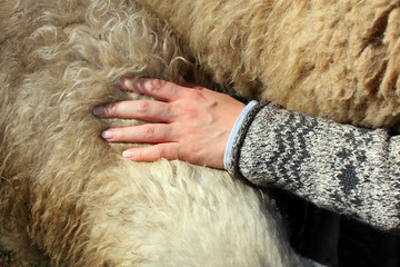 Hand spreading Wool on sheeps back