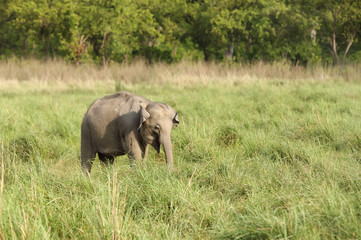 Baby elephant in the grassland
