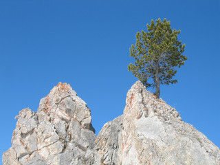Lonely pine tree