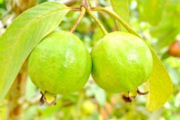 Guava, Psidium guajava Linn. on tree