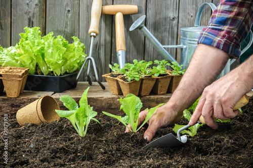 Farmer planting young seedlings - 70173928