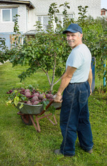 Man with a wheelbarrow red beets in his garden