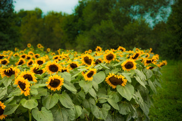 Genieß die letzten Sonnenblumen im Herbst