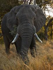 big male elephant