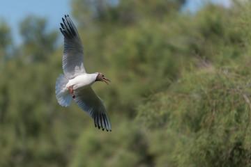 Lachmöwe, Black-headed gull, Chroicocephalus ridibundus