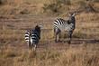 canvas print picture - zebra