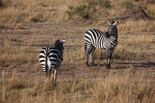 canvas print picture zebra