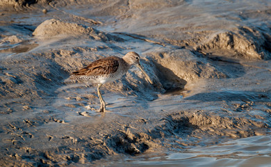 Dowitcher shorebird feeding on Everglades mudflats