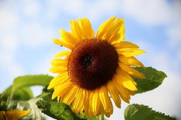 Wunderschönes Motiv mit Sonnenblume im warmen Herbst