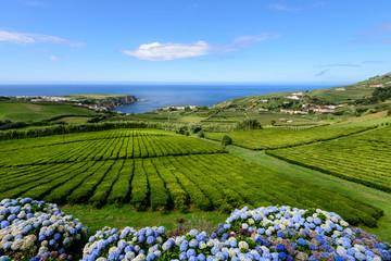 Plantação de chá em Porto Formoso