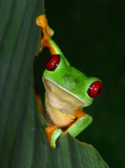 red eyed tree frog on green leaf, puntarenas, costa rica
