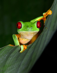 red eyed tree frog curious vibrant on green leaf, costa rica, ce
