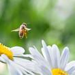 Obrazy na płótnie, fototapety, zdjęcia, fotoobrazy drukowane : Honeybee in Flight