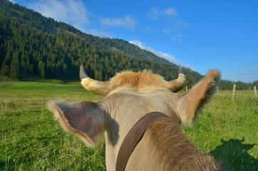 Hörner und Kopf einer Kuh auf Weide