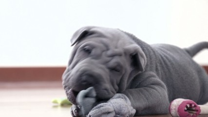 Shar Pei Pup Playing with its Rag