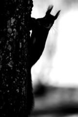 Baum mit Eichhörnchen_SW