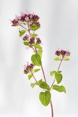 plantes aromatiques- Origan, Marjolaine