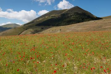 fioritura a Castelluccio di Norcia - Monti Sibillini