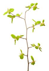 Linden twig at spring