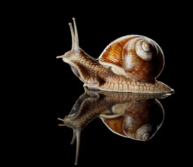 Garden snail side view