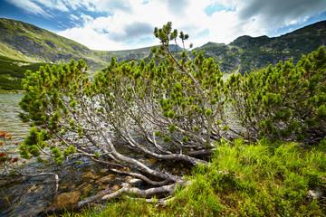 Dwarf pines by the lake