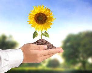 Hand holding sun flower