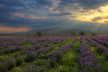 Sunset with lavender field
