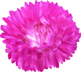 bright pink aster flower isolated on white
