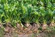 Organically grown sugar beet plants from close - 70197119