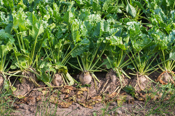 Organically grown sugar beet plants from close