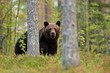 canvas print picture - Brown bear in the forest