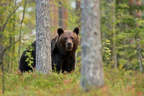 canvas print picture Brown bear in the forest