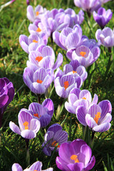 Crocuses on a field
